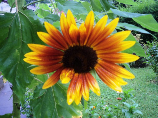 sunflowerNEWoneflower